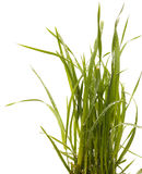 Green grass isolated white background. Sedge Stock Image