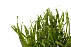 Green grass isolated white background. Sedge Stock Photo