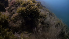 Green grass kelp on the seabed. Beautiful landscapes amazing underwater world nature and its inhabitants in clean cold blue waters of sea ocean. Marine life in stock video
