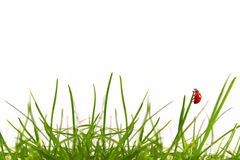 Green grass and ladybug. Royalty Free Stock Photography