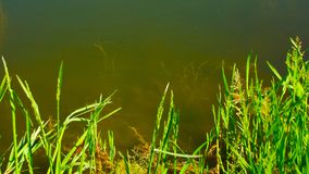 Green grass on the lake. Beautiful view Royalty Free Stock Photography