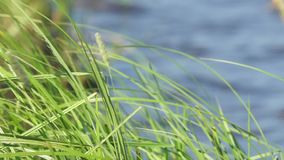 Green grass on the lakeside against water. Surface stock footage