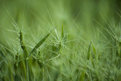 Green grass with a large number of thin shoots Royalty Free Stock Photos