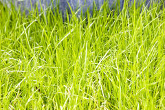 Green grass lawn. A part of green grass lawn,new cultivate in park Royalty Free Stock Photos