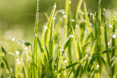 Green  grass on a lawn Royalty Free Stock Photo