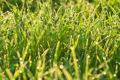 Green grass on a lawn Royalty Free Stock Image