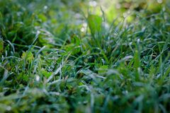 Green grass lawn background with dew drops.  Royalty Free Stock Images