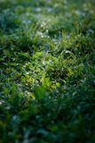 Green grass lawn background with dew drops.  Stock Photo