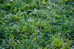 Green grass lawn background with dew drops Stock Photos