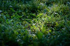 Green grass lawn background with dew drops Royalty Free Stock Photography