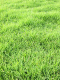 Green grass lawn background Royalty Free Stock Image