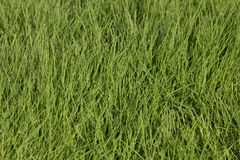 Green grass of the lawn Stock Photography