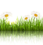 Green grass lawn with chamomiles and reflection on white. Floral. Green grass lawn with white chamomiles and reflection on white. Floral nature flower background Stock Photos