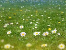 Green grass lawn with daisy and dandelion flowers spring backgro. Green grass lawn with white daisy and yellow dandelion flowers spring blurred background Stock Photos