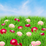 Green grass lawn with daisy flowers Royalty Free Stock Photos