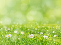 Green grass lawn with daisy flowers spring background stock images