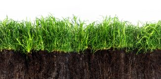 Green grass lawn in dark soil isolated on a white background, se. Amles texture in panoramic banner format Stock Photo