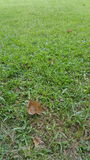 Green grass lawn detail with brown leaf. Green grass lawn detail close up with brown leaf Royalty Free Stock Photos