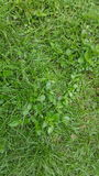 Green grass lawn detail close up. Green lawn close up with grass detail Royalty Free Stock Photo