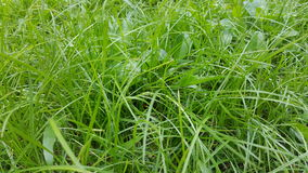 Green grass lawn detail. Green lawn close up with grass detail Stock Images