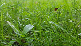 Green grass lawn detail close up. Focused on tree sprout Stock Images