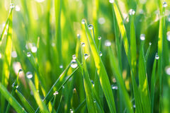 Green grass on a lawn with dew drops Stock Image
