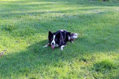 Green grass of lawn with dog waiting to have someone throw a ball so he can fetch it. Large black and white dog lying down on backyard lawn, bright blue eyes stock photo