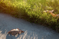 Green grass lawn and dry leaf with evening sunlight. Landscape Royalty Free Stock Image