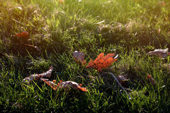 Green grass lawn and dry leaf with evening sunlight. Landscape background Royalty Free Stock Photos