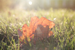 Green grass lawn and dry leaf with evening sunlight. Landscape background Stock Photography