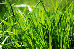The green grass Royalty Free Stock Images
