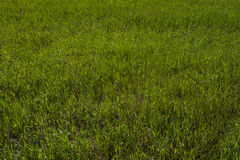 Green grass on the lawn, grass texture Stock Photos
