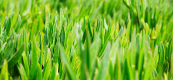 Green grass on the lawn Royalty Free Stock Image