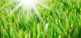 Green grass on the lawn Stock Images
