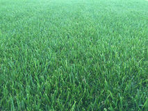 Green grass lawn. Picture of freshly cut green grass  from a garden lawn Royalty Free Stock Photos