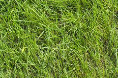 Green Grass Lawn at Sunny Summer Day. As Natural Background Stock Photo