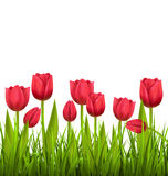 Green grass lawn with tulips isolated on white. Floral nature fl Stock Image