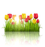 Green grass lawn with tulips sunlight and reflection on white. F Royalty Free Stock Photo