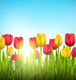 Green grass lawn with tulips and sunlight on sky. Floral nature. Green grass lawn with yellow and red tulips and sunlight on sky. Floral nature flower background Stock Photography