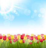 Green grass lawn with tulips and sunlight on sky. Floral nature. Green grass lawn with yellow and red tulips and sunlight on sky. Floral nature flower background Royalty Free Stock Photos