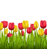 Green grass lawn with tulips  on white. Floral nature fl. Green grass lawn with red and yellow tulips  on white. Floral nature flower background Stock Photography