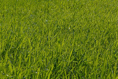 Green grass on lawn. View on green grass on lawn Stock Image