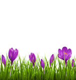 Green grass lawn with violet crocuses isolated. Floral nature sp Royalty Free Stock Images