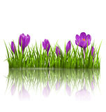 Green grass lawn and violet crocuses with reflection on white. F Stock Photo