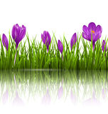Green grass lawn and violet crocuses with reflection on white. F Royalty Free Stock Image