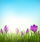 Green grass lawn with violet crocuses and sunrise on blue. Flora. Green grass lawn with violet crocuses and sunrise on blue sky. Floral nature spring background Stock Photography