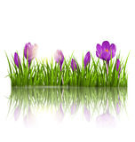 Green grass lawn, violet crocuses and sunrise with reflection on. White. Floral nature spring background Stock Image