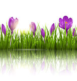 Green grass lawn, violet crocuses and sunrise with reflection on. White. Floral nature spring background Stock Images