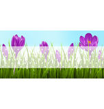 Green grass lawn and violet crocuses with transparent tape for t Stock Image