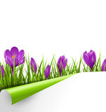 Green grass lawn with violet crocuses and wrapped paper sheet is Royalty Free Stock Photos
